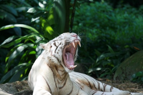 White-Tiger-yawn.jpg